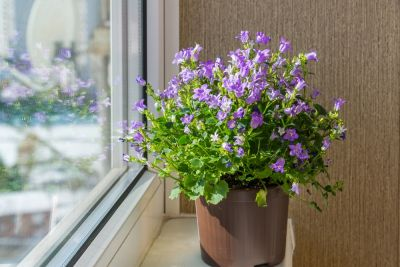 Houseplant of the month: Campanula