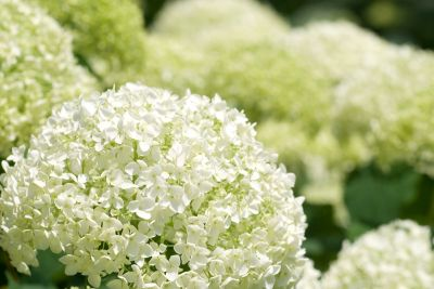 Planting & Caring for Hydrangeas