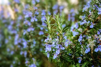 Scented plants for every garden