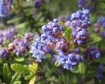 The Ceanothus, Beautiful blue lilac from California