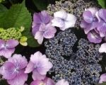 The old-fashioned charm of hydrangeas