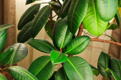 Top 6 big houseplants to substitute your Christmas tree