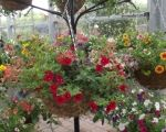 Your Summer Hanging Basket - Our Top Tips